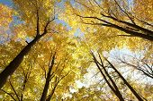 stock photo of alder-tree  - Autumn beech trees on a cloudless morning - JPG