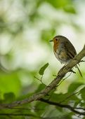 stock photo of red robin  - Robin Red Breast spotted in Dublin, Ireland