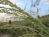 foto of sea oats  - Raindrops on Sea Oats at Vanderbilt Beach - JPG