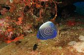 stock photo of angelfish  - Juvenile Emperor Angelfish - JPG