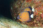 picture of angelfish  - Pair Ringed Angelfish - JPG
