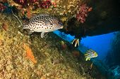 stock photo of harlequin  - Harlequin Sweetlips and Oriental Sweetlips - JPG