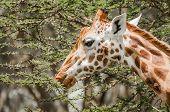 stock photo of sub-saharan  - A Masai Giraffe eating leafs from a thorny acacia tree. ** Note: Shallow depth of field - JPG