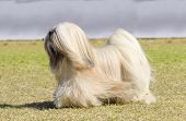 picture of long beard  - A small young light tan fawn beige gray and white Lhasa Apso dog with a long silky coat running on the grass. The long haired bearded Lasa dog has heavy straight long coat and is a companion dog.