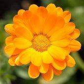 image of marigold  - Pot marigold  - JPG