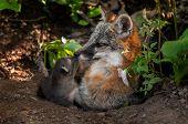 image of animal nose  - Grey Fox  - JPG