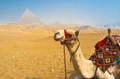 picture of desert animal  - The visiting of Giza Necropolis on camels is the best choice for leisure tourists who don - JPG