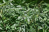 foto of ash-tree  - Green leaves of European Ash Tree  - JPG