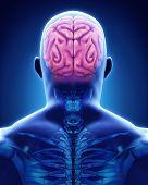 stock photo of cerebrum  - Human Brain Anatomy Illustration  - JPG
