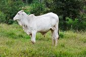 image of cattle breeding  - Brazilian breed Nellore beef cattle bull in green grass near trees white cow - JPG