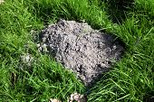 picture of mole  - Molehill freshly dug in a meadow by an active mole - JPG