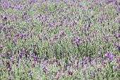 picture of lavender field  - Jagged lavenders - JPG