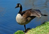 image of canada goose  - Canada Goose stretching out wing and leg on shore of pond  - JPG