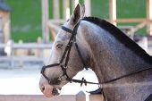 stock photo of reining  - young beautiful grey horse utdoor with reins - JPG