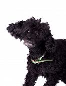 picture of poodle  - Black poodle dog isolated on white background - JPG