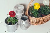 image of wooden basket  - Fresh natural spring flowers buttercups in pots and wicker basket on white wooden board background - JPG