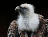 image of aerobatics  - vulture portrait - JPG