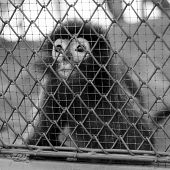 pic of caged  - black and white monkey in cage in the zoo - JPG