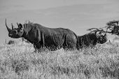 stock photo of rhino  - Black White Mother and Baby Rhino facing left and right - JPG