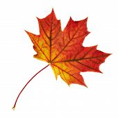 pic of canada maple leaf  - Autumn red maple - JPG