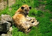 picture of hyenas  - Hyena resting on green grass in captivity - JPG