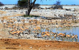 pic of species  - Okaukeujo waterhole is a magnet for many different species of animals  - JPG