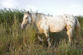 image of appaloosa  - An appaloosa stallion horse walking through tall reeds - JPG