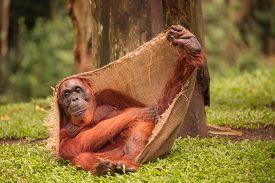 image of orangutan  - Adult orangutan sitting with jungle as a background - JPG