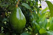 Avocado Tree Background poster