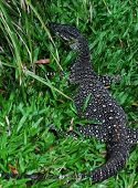 stock photo of goanna  - Lace Monitor  - JPG