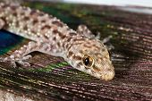 stock photo of hemidactylus  - Macro images of Mediterranean Gecko  - JPG