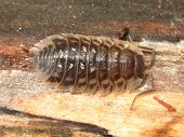 stock photo of woodlouse  - A Common Spotted Woodlouse  - JPG