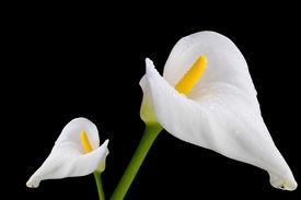 foto of single flower  - Two white callas close - JPG