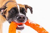 Brown Pedigreed Dog Playing With Orange Circle Toy On The Snow Field. Boxer. Jumping Dog poster