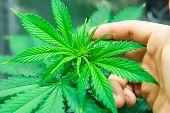 Planting Cannabis. Northern Light Strain. Home Grow Legal Recreational Weed. Marijuana Grow Operatio poster