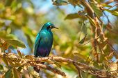 Cape Starling On A Tree In Kruger National Park, South Africa. Red-shouldered Glossy-starling Or Cap poster