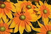 Yellow Rudbeckia Flowers Blooming In The Summertime poster