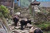 foto of sherpa  - yaks and sherpas along the trail through monjo - JPG