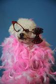 OLD Dog Photo Shoot. Beautiful 14 Year Old Blind and Deaf Bichon - Poodle Dog with a Pink and White  poster