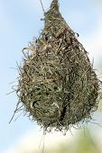 picture of bird-nest  - bird nest hanging from a branch - JPG