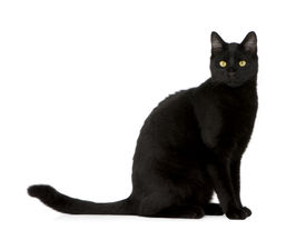 stock photo of black cat  - Black cat in front of a white background - JPG