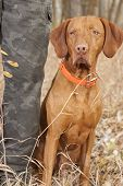 stock photo of vizsla  - obedient vizsla dog sitting at hunters heel - JPG