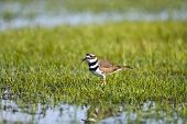 pic of killdeer  - A Killdeer foraging In A Field flooded by rainwater - JPG