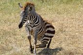 Baby Zebra Lifting