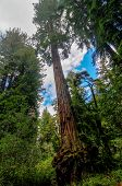 picture of sequoia-trees  - Sequoia Trees in Big Basin Redwoods State Park - JPG