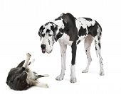 stock photo of great dane  - harlequin Great Dane  - JPG