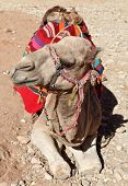 stock photo of dromedaries  - ARabian dromedary camel with a bedouin saddle - JPG
