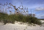 foto of sea oats  - Sea oats cling to the sands of the east coast of Florida along the Atlantic Ocean - JPG