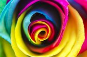 picture of rare flowers  - Beautiful Abstract Colorful Rainbow Rose Flower Painted