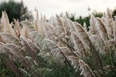 image of pampas grass  - Cortaderia selloana or Pampas grass blowing in the wind
